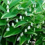 Купина запашна – лікувальні властивості рослини