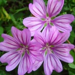 квіти лаватери властивості
