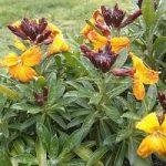 Лакфіоль садова – хімічний склад і властивості