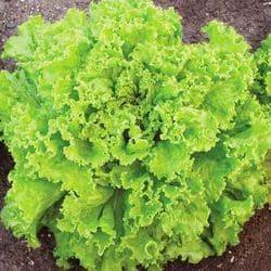 Латук посівний – хімічний склад, заготівля та вживання