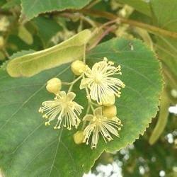 Липа пухнаста – опис властивостей рослини
