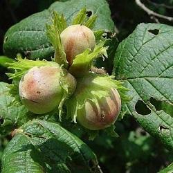 Ліщина звичайна – використання у якості лікарської рослини